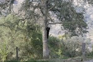 A black bear roams in Three Rivers, California