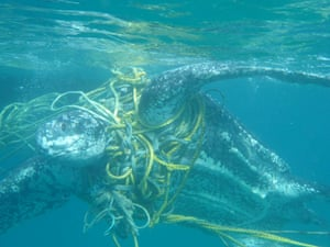 A leatherback turtle entangled in fishing ropes in Grenada