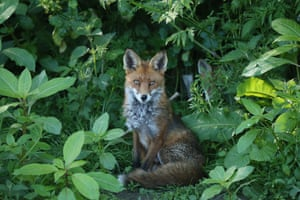A fox sits among wild plants in South Dublin, Ireland