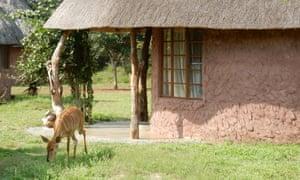 Impala by a rondavel hut, Hlane national park.