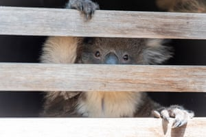 A koala that has been captured is placed in a crate to be transported to the wildlife triage centre that was set up in Bairnsdale after the bushfires.