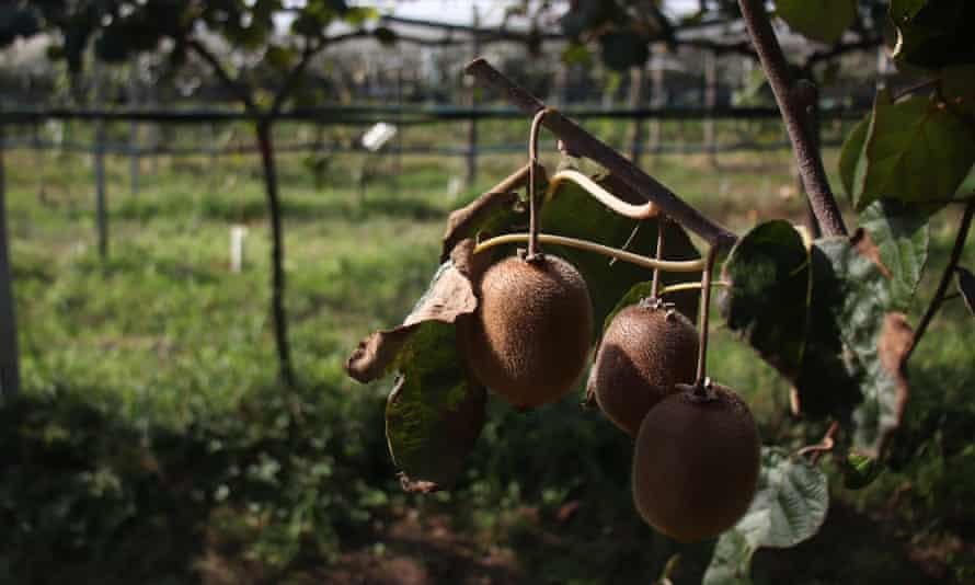 Kiwi fruit on a plant showing symptoms of advanced decline on a research field near Verona.
