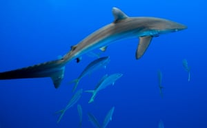 A silky shark and marine life school around a Fish Aggregating Device (FAD) in the central Pacific Ocean.<strong> </strong>