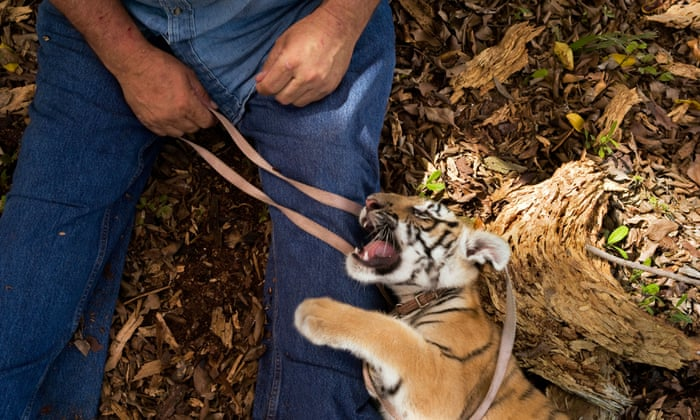 More tigers live in US back yards than in the wild  Is this