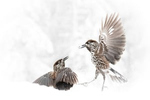 Two birds fighting in snow