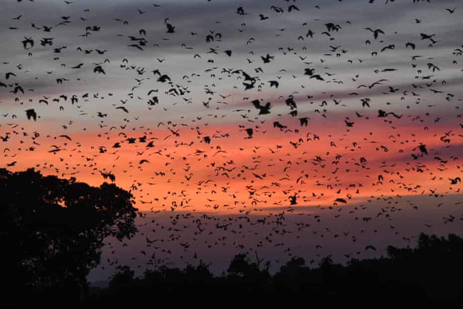 Straw-coloured fruit bats take part in the biggest mammal migration in the world.