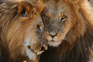 Affectionate lion brothers in Mara Naboisho conservancy, Kenya
