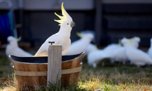 Sulphur-crested cockatoos feed on seed in a suburban backyard in Canberra