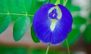The blue butterfly pea flower in bloom