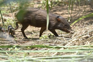Pygmy hog babies and mother in Manas reserve, India