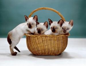 Siamese kittens, New Jersey, 1962