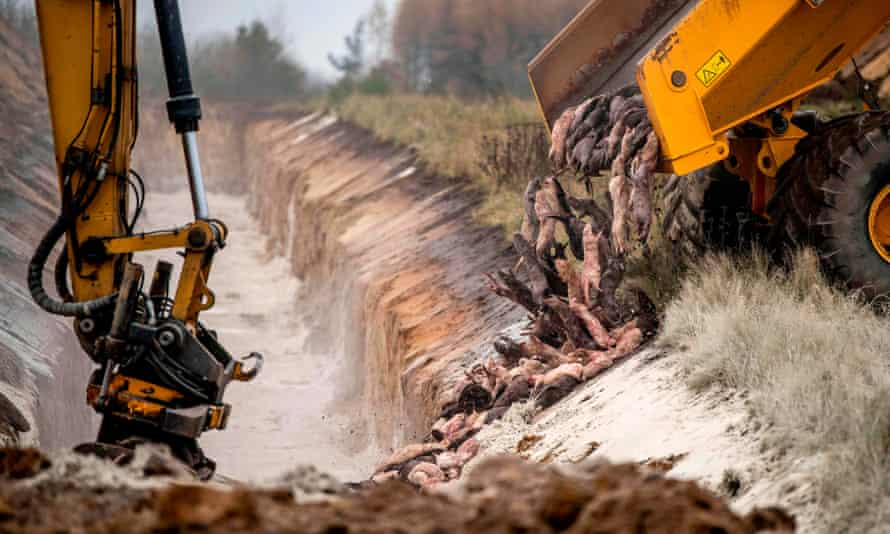 A truck dumps dead mink into a ditch, as culled animals are buried in a military area near Holstebro