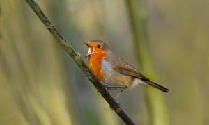 The robin is 'a quintessentially European bird'.