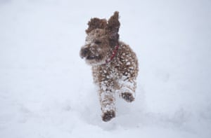Williow, a one-year-old cockerpoo, enjoys the snow in Wye National Nature Reserve, near Ashford in Kent