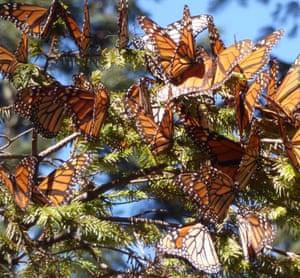 Fir branches sag under the weight of countless monarch butterflies.