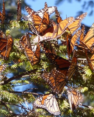 Monarchs in Mexico allow brush with fragile beautyMonarch butterfly populations have been on the decline, but swarms of the colorful insects can still be found in certain parts of Mexico. (Terri Colby/Chicago Tribune/TNS via Getty Images)