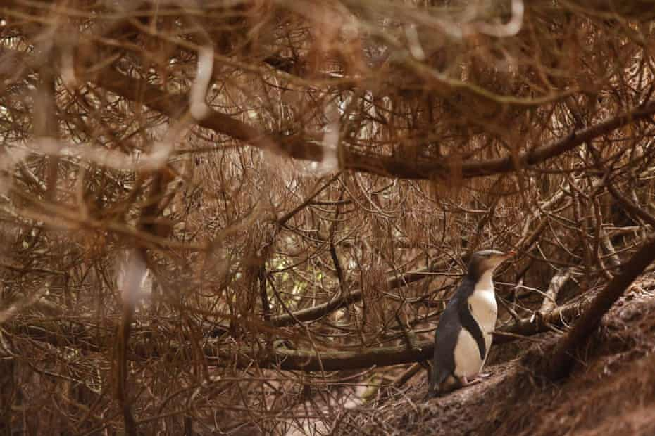 A penguin living in a pine plantation with little cover on the forest floor.