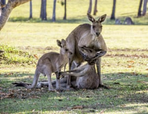 A dead female kangaroo is cradled by her mate in River Heads, a coastal town close to Fraser Island in Queensland