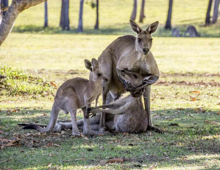 The buck kangaroo cradles his mate.
