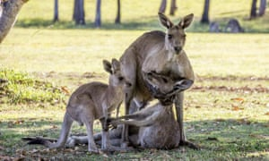 The kangaroo photo – taken in River Heads, Queensland – that received widespread press coverage.