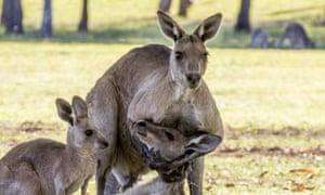 A male eastern grey kangaroo