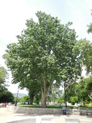 Plane tree (platanus), 80 years old, Budapest, Hungary