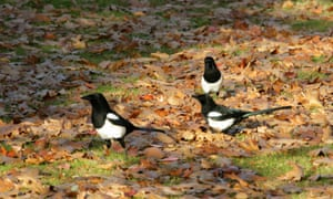 Three magpies among fallen leaves