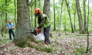 Forest workers cut down a spruce attacked by woodworm in Białowieża forest