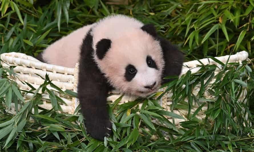 Panda cub Fu Bao