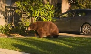 A large black bear roams the streets of a suburb in Los Angeles.