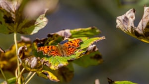 A comma butterfly rests in the autumn sunshine, Burley Woodhead, West Yorkshire, UK