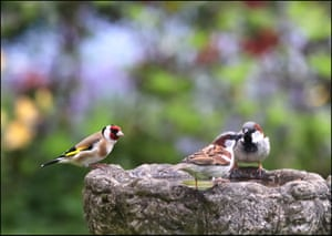 A goldfinch watches two young house sparrows in Stockport. The former Guardian photographer Denis Thorpe has been taking pictures of his garden and its visitors while shielding at home during the Covid pandemic