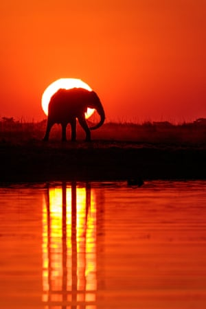 Chobe river in Botswana,  the setting sun and the walking elephant intersect and reflect in the water