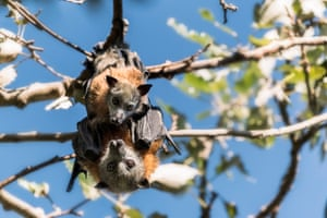 Grey-headed flying fox mother and pup.