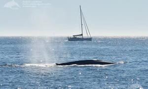 A blue whale off coast of Galicia, Spain. Blue whales, the world's largest mammals, are returning to Spain's Atlantic coast after an absence of more than 40 years