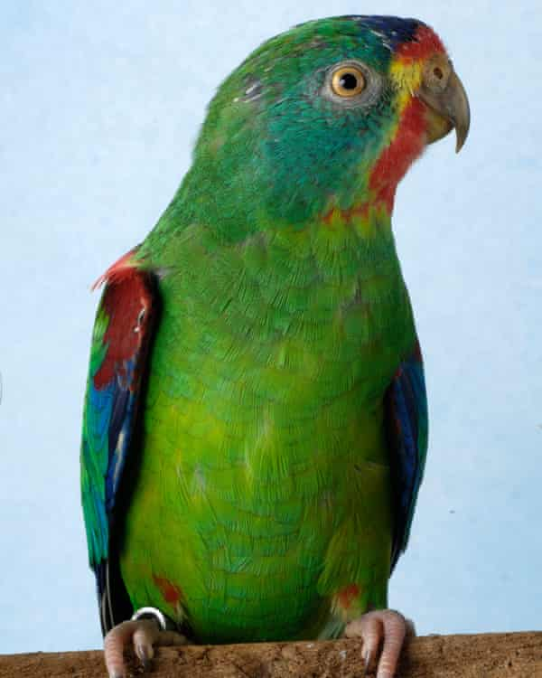 The swift parrot, now critically endangered.