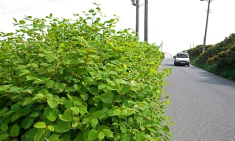 Is Japanese knotweed driving you wild? Don't curse it – cook it