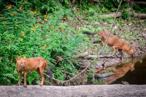 Two wild dogs in the national park at Khao Yai, Thailand