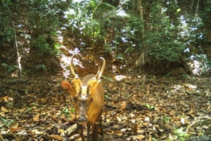 A giant muntjac walks in Virachey national park in Cambodia in this camera trap photo. The critically endangered giant barking deer seen for the first time has given a boost to the country's wildlife preservation efforts