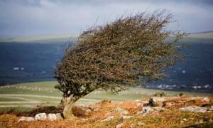 Wind-sculpted hawthorn