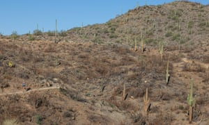 A runner passes saguaro that were burned in a wildland fire in early 2020 in Cave Creek, Arizona.
