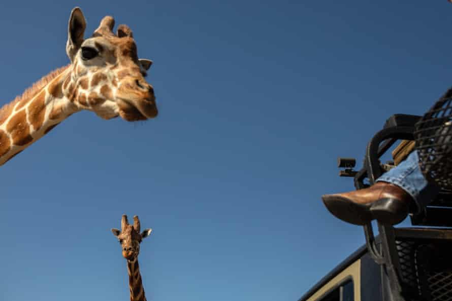 Giraffes greet visitors at the Ox Ranch.