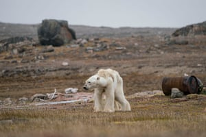 A Polar Bear's Struggle by Justin Hofman