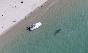 In a July 2016 photo, released by the Atlantic White Shark Conservancy, a great white shark swims close to the Cape Cod shore in Chatham, Massachusetts.