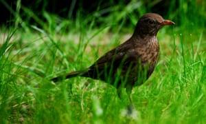 A female blackbird.