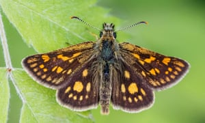 A chequered skipper butterfly. Its survival in England could be uncertain if the summer months are too dry.