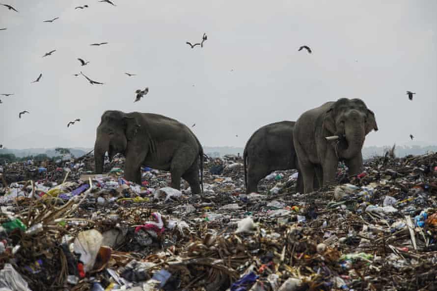 Elephants eating on a rubbish dump in Oluvil, Sri Lanka