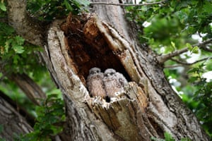 Owlets in a tree at Worthy farm in Somerset during the Glastonbury festival.