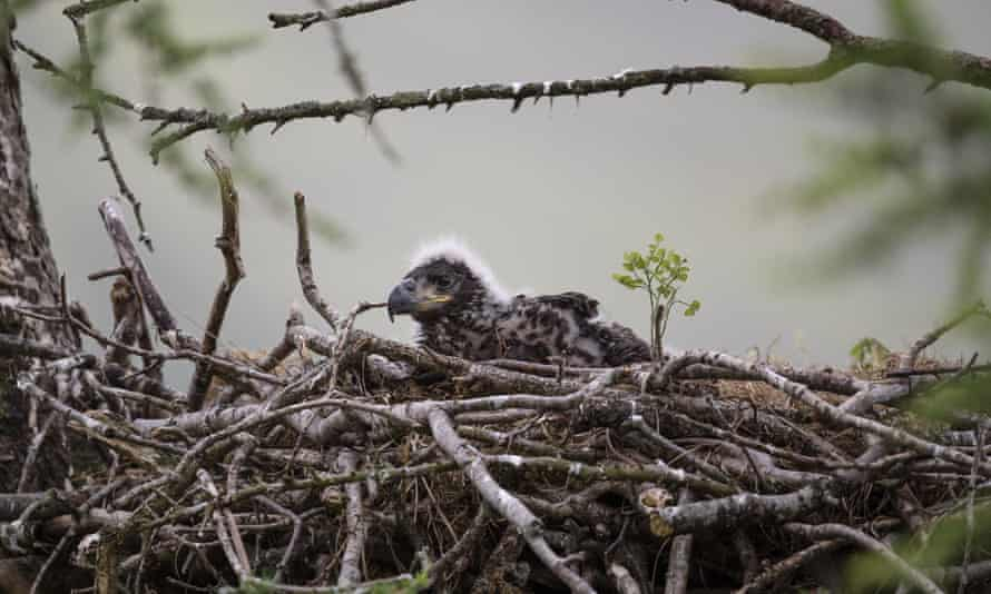 A chick sits in its nest on the Isle of Mull, Scotland.