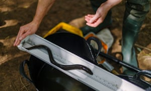 An eel is measured during a survey in the River Tone in Somerset